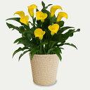 ■母の日ギフト鉢花■カラーサマーサンオリジナルバスケット入り【楽ギフ_包装】【楽ギフ_メッセ入力】