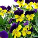 【ご予約商品♪ご予約区分B】■良品花壇苗■ワダフラワーのビオライエロージャンプアップ10.5cmポット苗