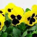 【ご予約商品♪ご予約区分B】■良品花壇苗■秋山さんのパンジーイエローブロッチ10.5cmポット