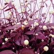 ■新鮮花壇苗■アルテルナンテラレッドフラッシュ9cmポット