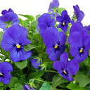 【ご予約商品♪ご予約区分B】■良品花壇苗■ワダフラワーのビオラブルーブロッチ10.5cmポット苗