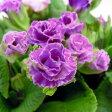 ■新鮮花壇苗■八重咲きプリムラブルーベリームース10.5cmポット