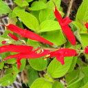 ■宿根草■サルビアパイナップルセージエレガンス・ゴールデンデリシャス10.5cmポット