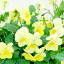 【ご予約商品♪ご予約区分B】■良品花壇苗■ワダフラワーのビオラレモンシフォン10.5cmポット苗