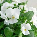 【ご予約商品♪ご予約区分B】■良品花壇苗■ワダフラワーのビオラピュアホワイト10.5cmポット苗
