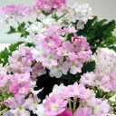 ■良品花壇苗■ワダフラワーの栄養系バーベナ ピンクポップ 1...
