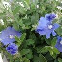 ■新鮮花壇苗■アメリカンブルー ブルーコーラル