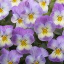 【ご予約商品♪ご予約区分B】■良品花壇苗■ワダフラワーのビオラピンクレモンリップ10.5cmポット苗