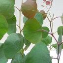 ■良品庭木■ユーカリ ポポラス(シルバーダラーガム)18cmポット