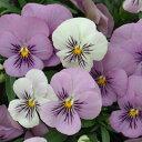 ■新鮮花壇苗■ビオラプラスきまぐれロージー(花色が変化します!)10.5cmポット