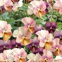 【ご予約商品♪ご予約区分B】■良品花壇苗■ワダフラワーのビオラなごみももか しんしん10.5cmポット苗