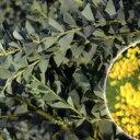 ■良品庭木苗■三角葉アカシアカルトリフォラミス12cmポット苗