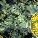 ■良品庭木苗■アカシアスペクタビリス12cmポット苗