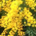 ■良品庭木苗■ミモザアカシア10.5cmポット苗