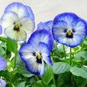 【ご予約商品♪ご予約区分B】■良品花壇苗■秋山さんのパンジーよく咲くスミレソーダ10.5cmポット