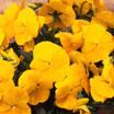 【ご予約商品♪ご予約区分B】■良品花壇苗■秋山さんのパンジーよく咲くスミレパイナップル10.5cmポット