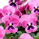 【ご予約商品♪ご予約区分B】■良品花壇苗■秋山さんのパンジーよく咲くスミレラズベリー10.5cmポット