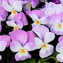 ■良品花壇苗■秋山さんのパンジーよく咲くスミレラベンダーソフト10.5cmポット