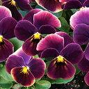 【ご予約商品♪ご予約区分B】■良品花壇苗■ワダフラワーのビオラももか あんみつ10.5cmポット苗