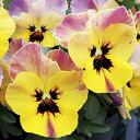 【ご予約商品♪ご予約区分B】■良品花壇苗■ワダフラワーのビオラももか おまつり10.5cmポット苗