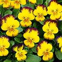 【ご予約商品♪ご予約区分B】■良品花壇苗■ワダフラワーのビオラももか ちゅら10.5cmポット苗