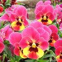【ご予約商品♪ご予約区分B】■良品花壇苗■ワダフラワーのビオラももか るびー10.5cmポット苗