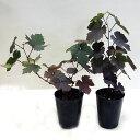 ■良品庭木■ヨーロッパブドウプルプレア7.5cmポット...