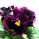 RoomClip商品情報 - ■良品花壇苗■餅田さんの絵になるスミレミュール10.5cmポット