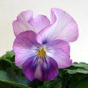 ■新鮮花壇苗■小輪パンジーシャワーパーティー10.5cmポット