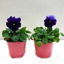 ■良品花壇苗■秋山さんのパンジーフィジーグレープ10.5cmポット