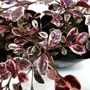 RoomClip商品情報 - ■新鮮花壇苗■ロフォミルタス マジックドラゴン9cmポット苗
