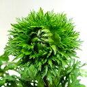 ■新鮮花壇苗■NEW!アネモネ八重咲き凛々花(りりか) 10.5cmポット