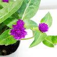■新鮮花壇苗■千日紅(センニチコウ)ちなつ10.5cmポット苗