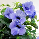 RoomClip商品情報 - ■新鮮花壇苗■トレニア カタリーナブルーリバー9〜10.5cmポット苗