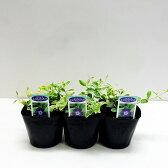 ■新鮮花壇苗■ヒメツルニチニチソウバリエガータ10.5cmポット3個セット