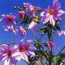 季節の花苗皇帝ダリア■新鮮花壇苗■皇帝ダリア10.5cmポット