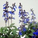 ■新鮮花壇苗■サルビア コスミックブルー3.5号