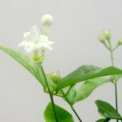 ■新鮮花壇苗■マツリカジャスミンアラビアジャスミンピカケ10.5cmポット