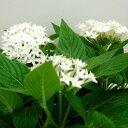 ■新鮮花壇苗■ペンタス ホワイト