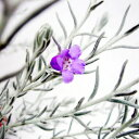 ■新鮮花壇苗■エレモフィラ ニベア 9cmポット