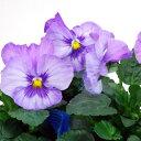 【ご予約商品♪ご予約区分B】■良品花壇苗■秋山さんのパンジーラベンダー10.5cmポット