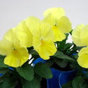 【ご予約商品♪ご予約区分B】■良品花壇苗■秋山さんのパンジーピュアレモン10.5cmポット