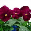 【ご予約商品♪ご予約区分B】■良品花壇苗■秋山さんのパンジーローズ10.5cmポット