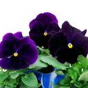 【ご予約商品♪ご予約区分B】■良品花壇苗■秋山さんのパンジークリアパープル10.5cmポット