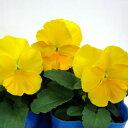 【ご予約商品♪ご予約区分B】■良品花壇苗■秋山さんのパンジーゴールデンイエロー10.5cmポット
