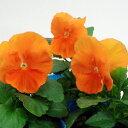 【ご予約商品♪ご予約区分B】■良品花壇苗■秋山さんのパンジーオレンジ10.5cmポット