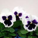 【ご予約商品♪ご予約区分B】■良品花壇苗■秋山さんのパンジーホワイトブロッチ10.5cmポット