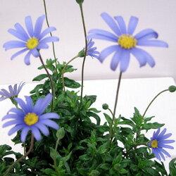 ■新鮮花壇苗■ブルーデージー9〜10.5cmポット