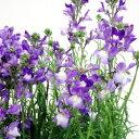 ■新鮮花壇苗■リナリア ラベンダー10.5cmポット苗
