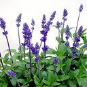 RoomClip商品情報 - ■新鮮花壇苗■ブルーサルビア10.5cmポット苗